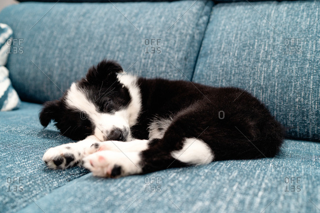 Adorable little black and white border collie puppy sleeping peacefully on cozy couch
