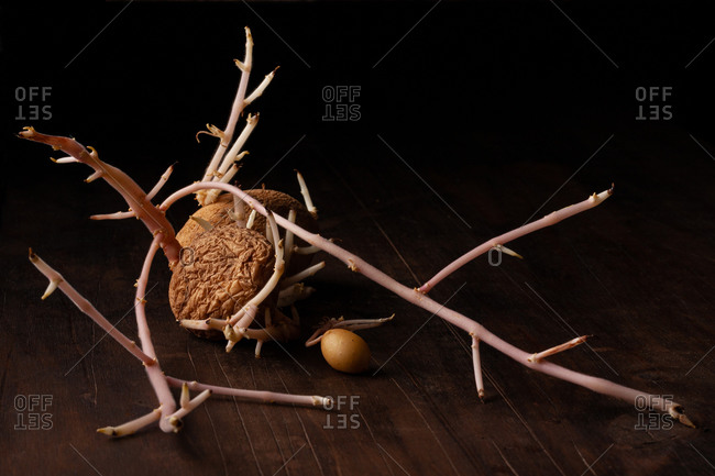 Old sprouted potato with curvy roots placed on wooden table against black background