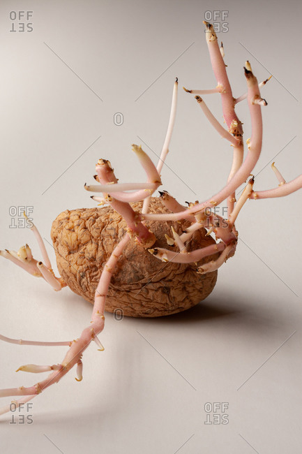 Old sprouted potato with curvy roots placed on wooden table against white background