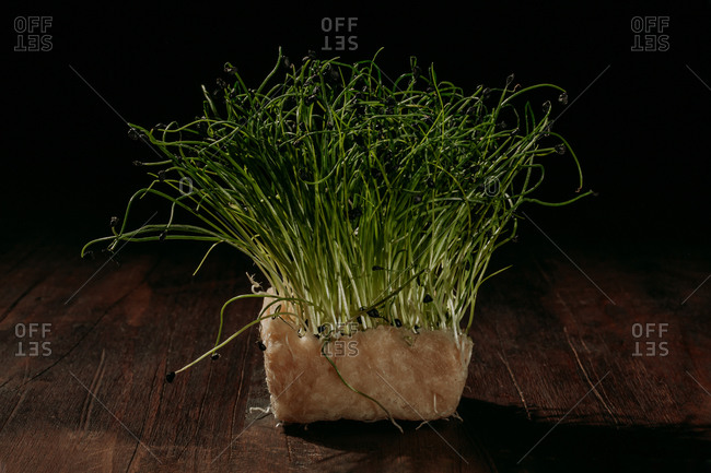 Still life with bunch of fresh green mustard sprouts growing in pot placed on wooden table in dark studio with black background