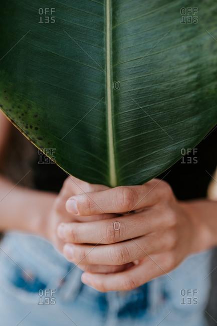 Cropped unrecognizable female holding huge Rubber fig leaf
