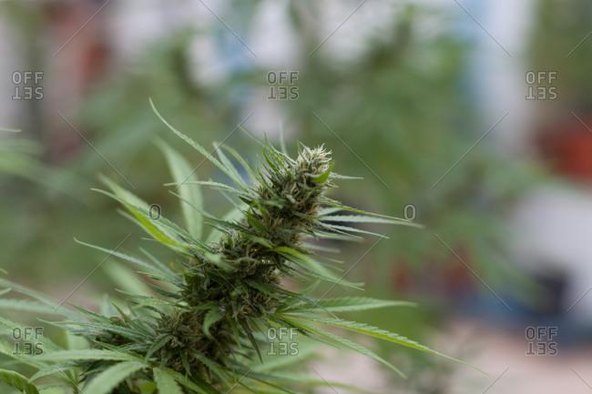Marijuana plant growing in pots