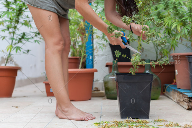 A woman cutting marijuana plants with blue scissors on the terrace at home.