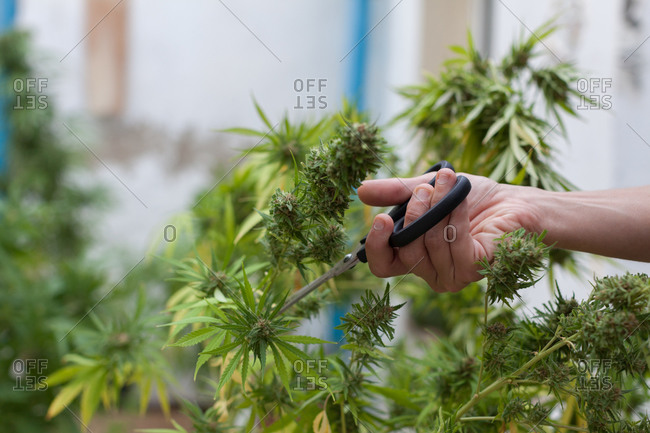 A woman cutting marijuana plants with black scissors on the terrace at home.