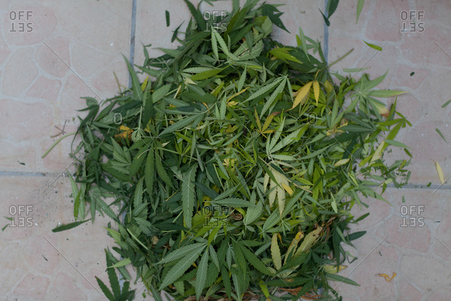 The terrace floor full of marijuana leaves