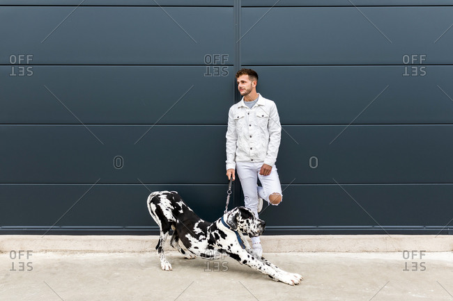Male owner standing with big Harlequin Great Dane dog during stroll in city and looking away