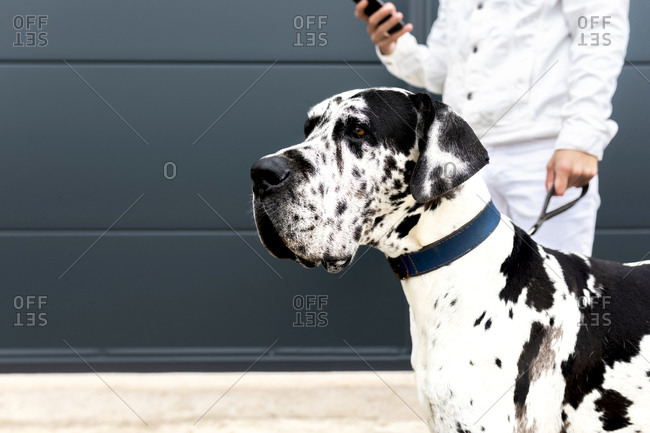 Crop young male cuddling Great Dane dog and browsing smartphone while standing together in city