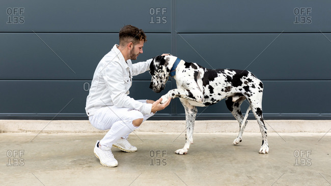 Side view of male owner sitting with big Harlequin Great Dane dog during stroll in city and looking away