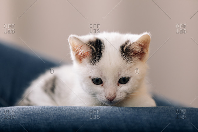 Curious attentive white fluffy kitten with gray spots sitting on legs of anonymous owner