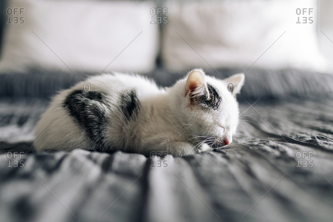 Cute fluffy white kitten with gray spots napping on comfortable soft bed