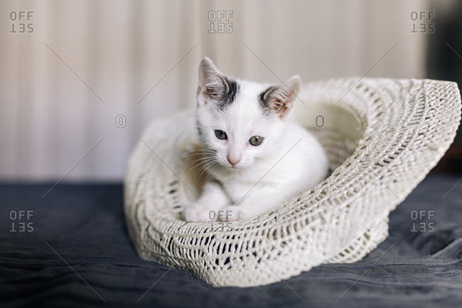 Adorable funny white kitten with gray spots resting in hat placed on bed