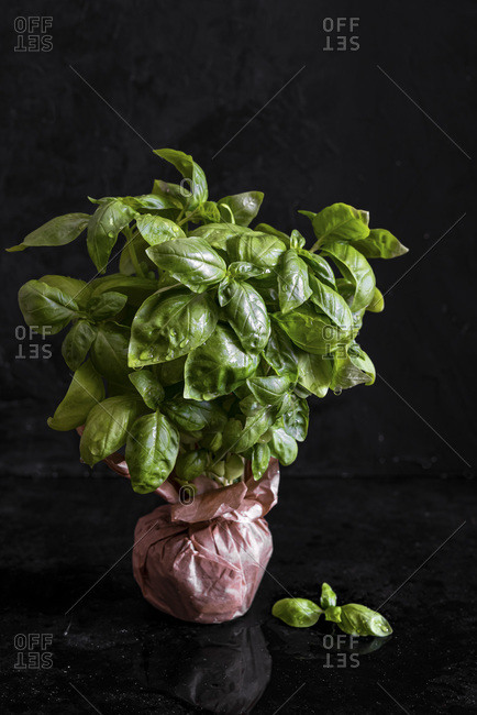 Bouquet of fresh basil over a black background
