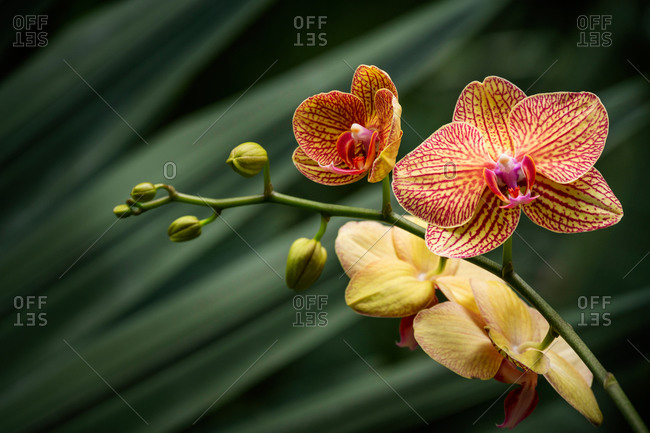Yellow and orange orchid against green tropical leaves