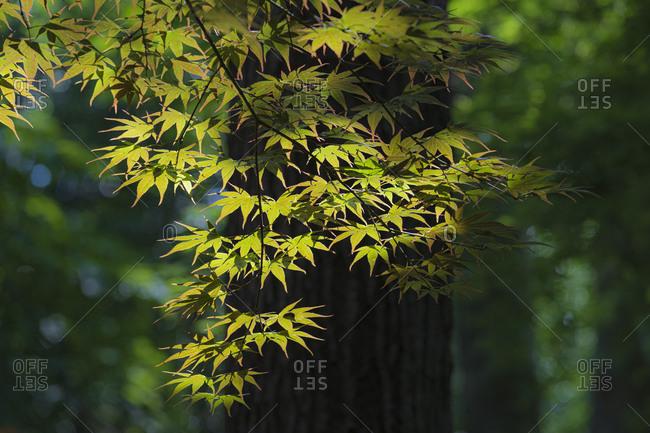 USA, Georgia, Lawrenceville, Japanese Maple tree leaves
