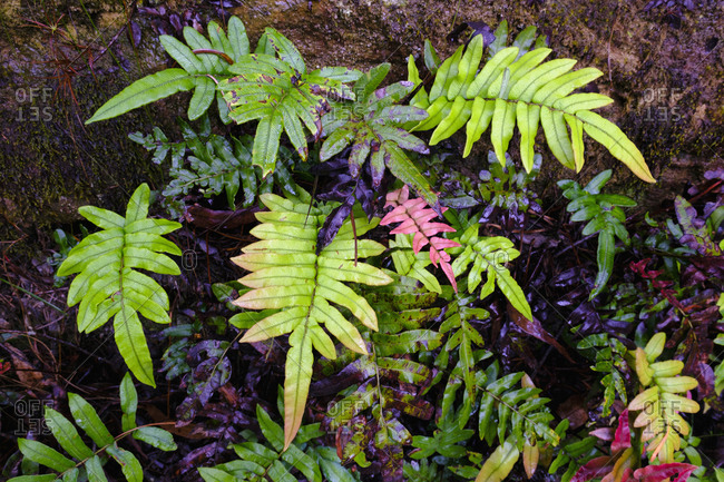 Australia, New South Whales, Blue Mountains National Park, Fern leaves in rainforest