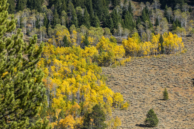 USA, Idaho, Stanley, Yellow aspen trees in mountain landscape