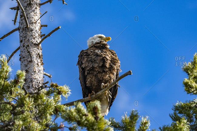 USA, Idaho, Stanley, Bald Eagle perching in tree above Redfish Lake
