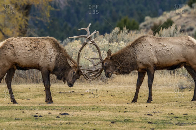 USA, Wyoming, Yellowstone National Park, Elk (Cervus elaphus) bulls in sparring duel for dominance in Yellowstone National Park