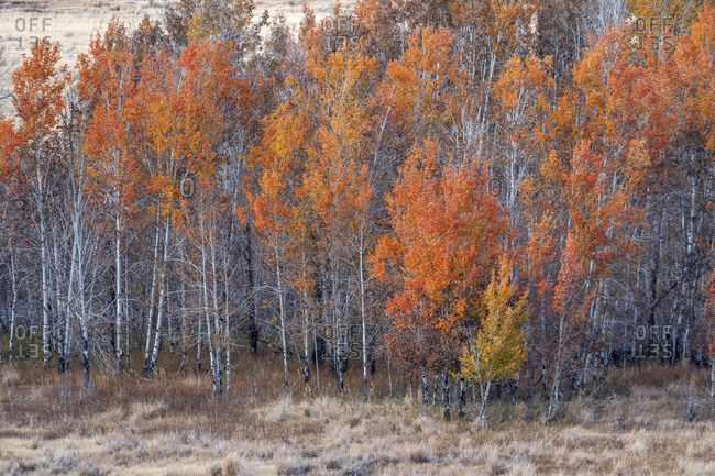 USA, Idaho, Sun Valley, Colorful trees in forest in autumn