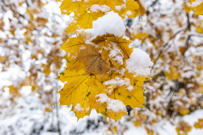 Close up of yellow autumn tree covered with snow