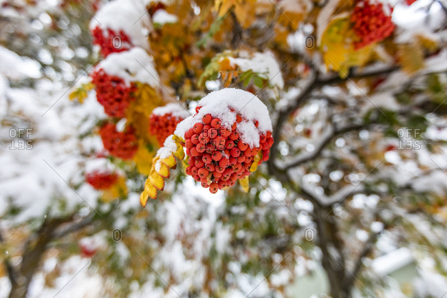 Rowanberries on branch covered with snow