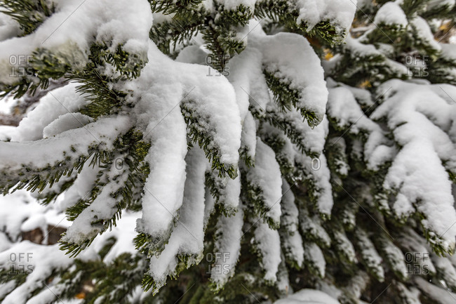 Pine tree covered with winter snow