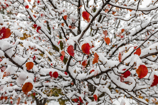 Red autumn leaves on tree covered with snow
