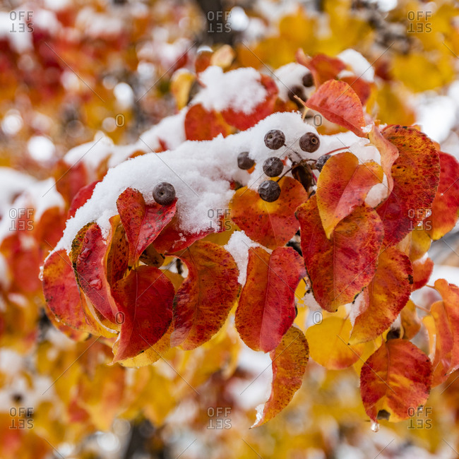 Close up of autumn leaves on branch covered with snow