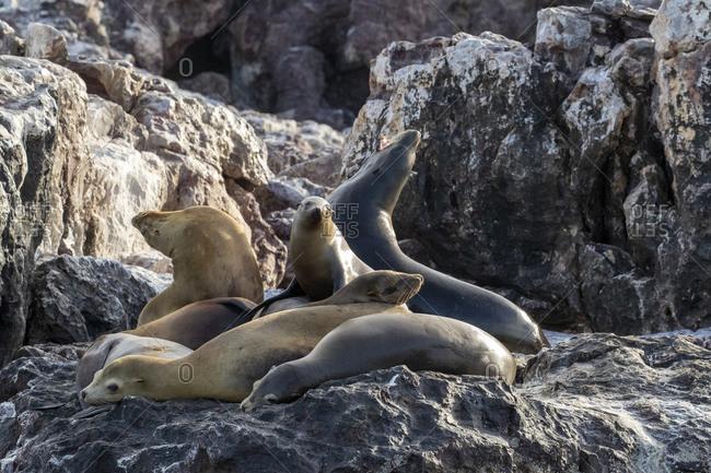 California sea lions (Zalophus californianus), at Isla San Pedro Martir, Baja California, Mexico, North America