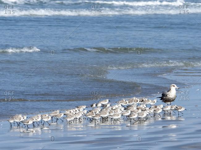 A flock of sanderlings (Calidris alba), on the beach at Isla Magdalena, Baja California Sur, Mexico, North America