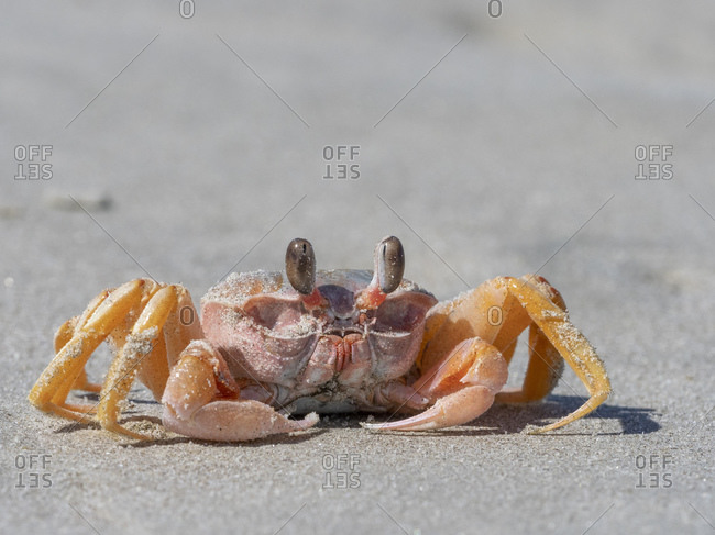 Adult ghost crab (Ocypode spp), on the beach at Isla Magdalena, Baja California Sur, Mexico, North America