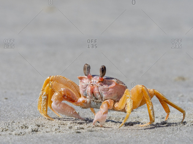 Adult ghost crab (Ocypode spp) on the beach at Isla Magdalena, Baja California Sur, Mexico, North America