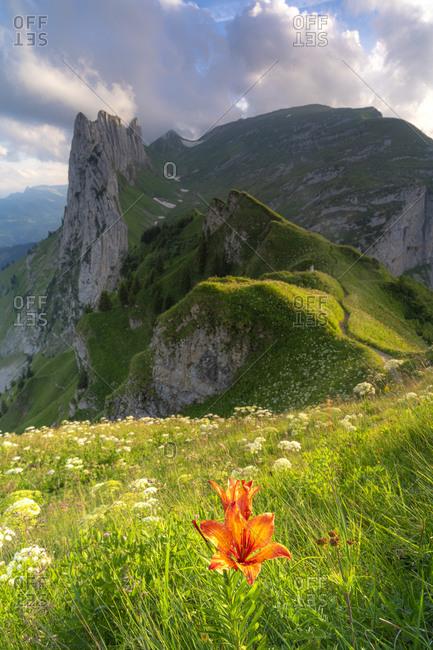 Red bellflower in the flowering meadows surrounding Saxer Lucke mountain, Appenzell Canton, Alpstein Range, Switzerland, Europe