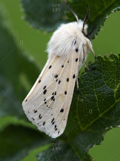 White Ermine moth, County Clare, Munster, Republic of Ireland, Europe