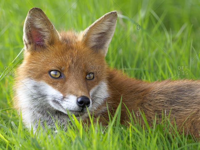Fox, County Clare, Munster, Republic of Ireland, Europe