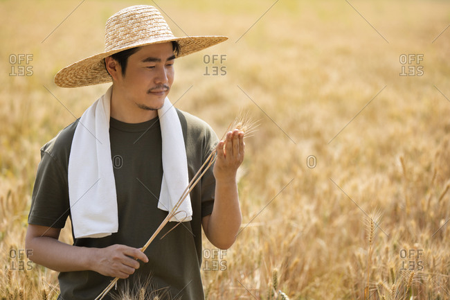 Farmer harvesting in wheat field