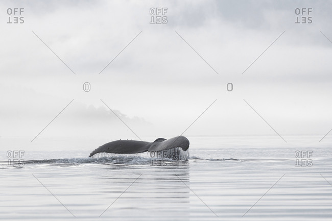 The tail of a diving humpback whale flipping out of the water on a dense-fog morning on the west coast of British Columbia