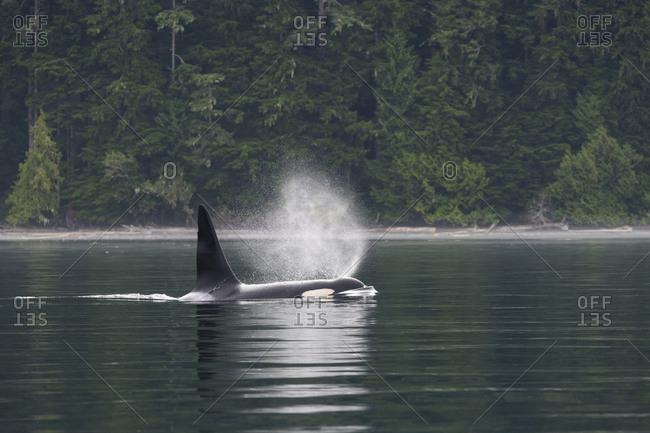 Killer whale breaching on the west coast of British Columbia Johnstone Strait, Vancouver Island, British Columbia, Canada