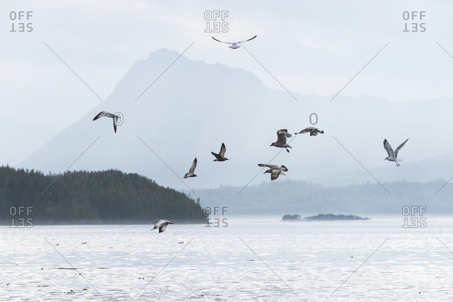 A flock of gulls in the blue light of late afternoon on the west coast of British Columbia Johnstone Strait, Vancouver Island, British Columbia, Canada