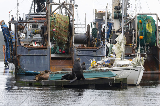 Ucluelet, British Columbia, Canada - September 24, 2020: Sea lions lounging on a boat dock in front of fishing vessels