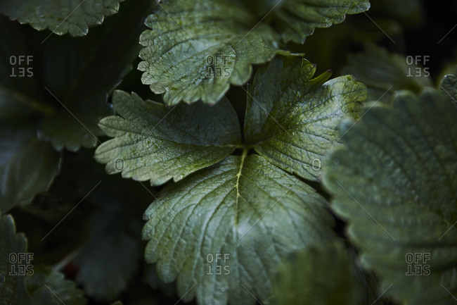 Overhead close-up of strawberry plant leaves