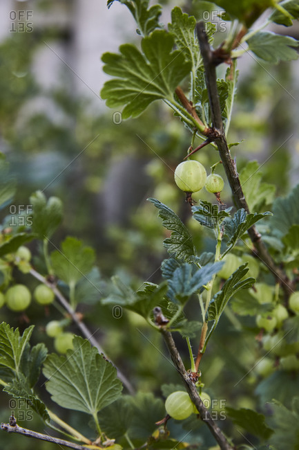 Greeen goosberries growing on a bush in the garden