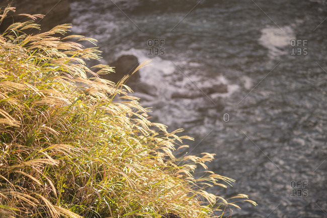 Silvergrass by the sea on a sunny day, Izu Peninsula, Japan