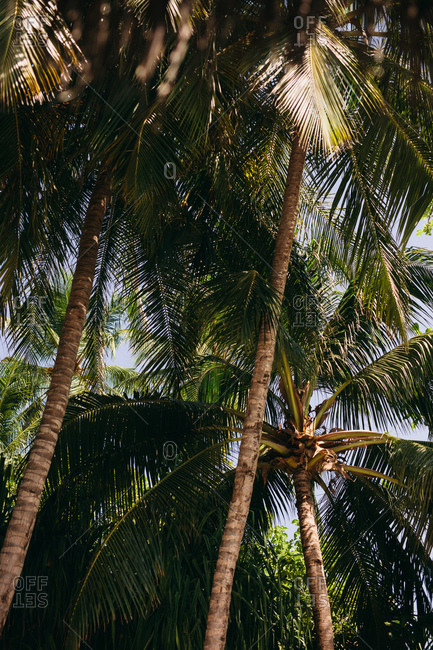 Low angle shot of tall coconut trees. Dense coconut trees with blue sky in the background at a tropical place.