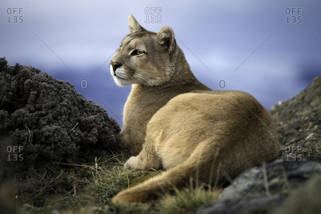 Puma sitting relaxed in Trres Del Paine, Patagonia Chile