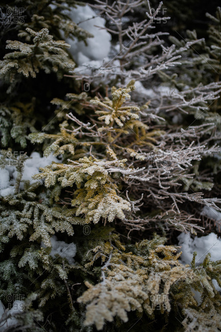 Frozen snow covered tree branches in the forest in the Bjelasnica mountains in Bosnia and Herzegovina