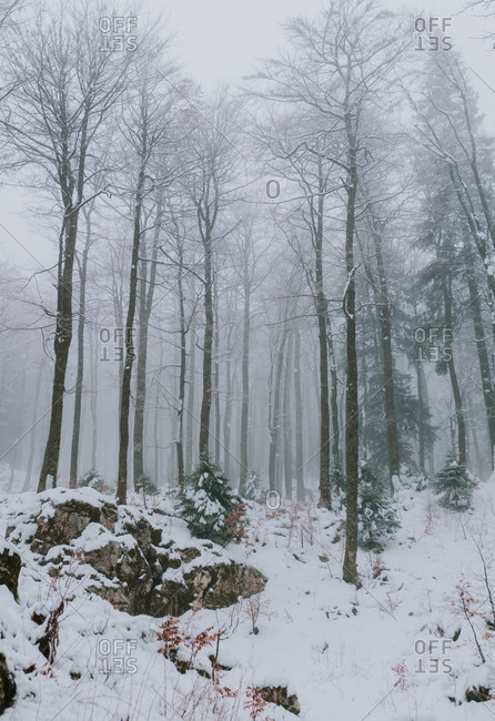 Foggy forest in the forest in the Bjelasnica mountains in Bosnia and Herzegovina