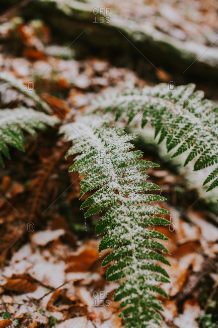 Frost covering fern plant in the forest in rural Bosnia and Herzegovina