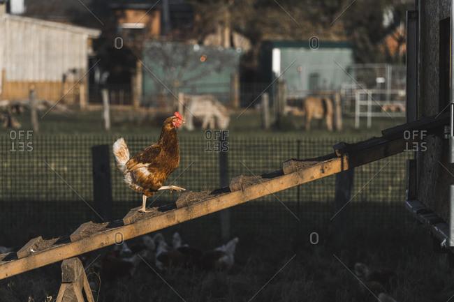 Chicken walking inside chicken coop