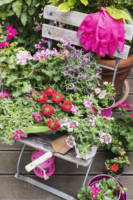 Pink and red blooming flowers cultivated on balcony